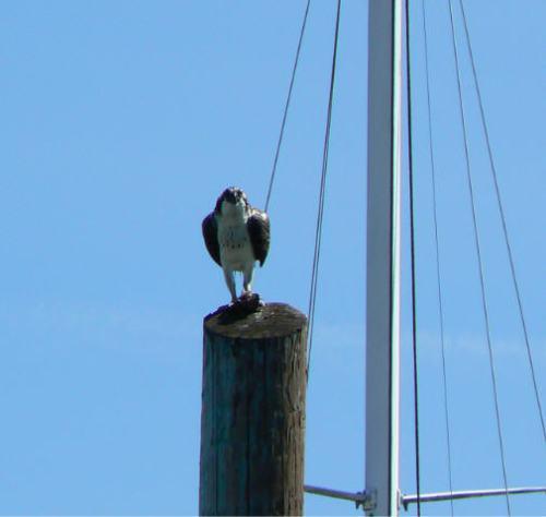 Osprey Neighbor