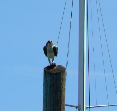 Osprey Neighbor