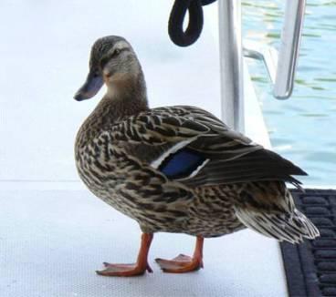 Mallard on Deck