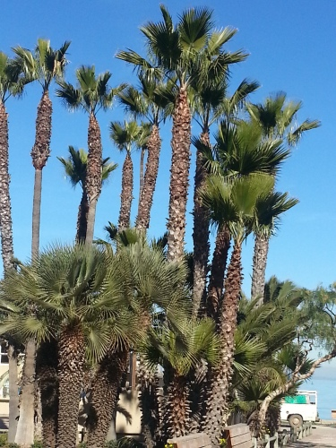 Palms trees - Santa Catalina Island